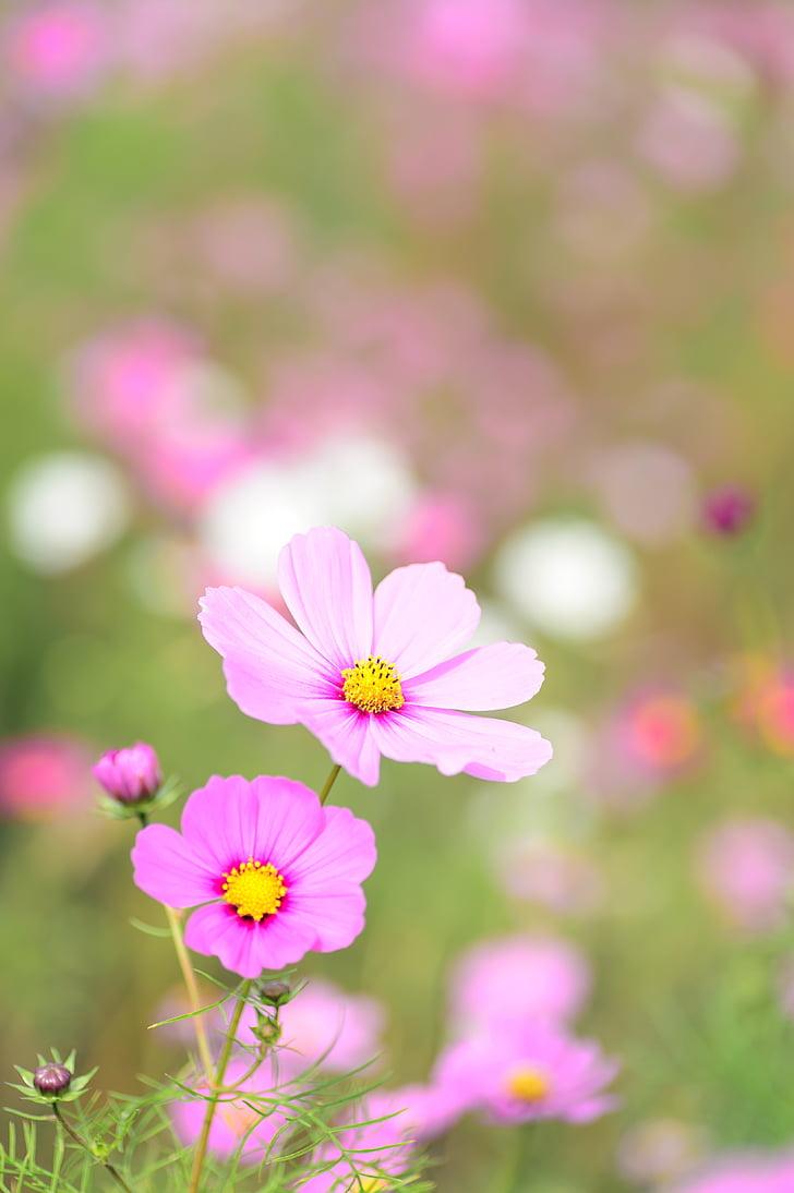 Royalty Free Photo Pink Cosmos Flowers Pickpik