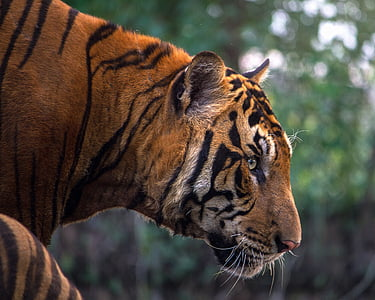 selective focus photography of reddish-orange tiger