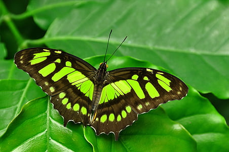 green Malachite butterfly perching on green leaf in close-up photography