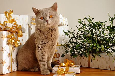gray Russian blue cat