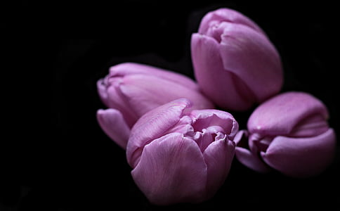 closeup photography of half bloomed purple tulip flowers