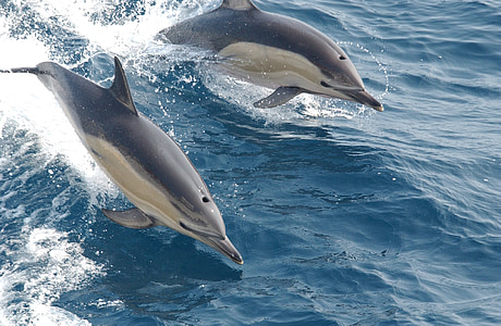 two gray dolphins on body of water
