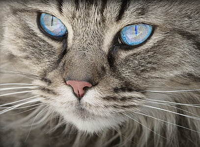silver tabby cat with blue eyes