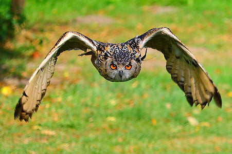 closeup photography of brown, black, and white owl flying during daytime