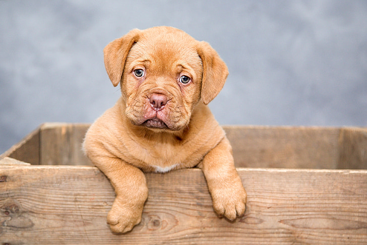 Tan French Mastiff Puppy Stands Inside The Box