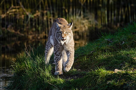 Wildlife photography of cat family animal during day time