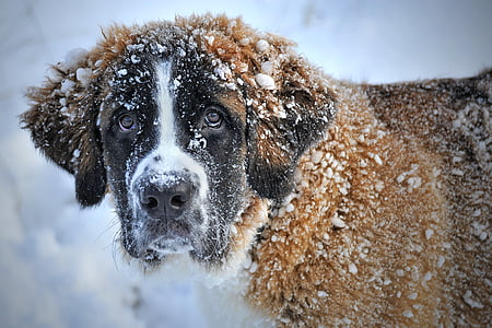adult brownish-white Saint Bernard covered with snow