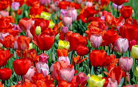 red, pink, and yellow tulip flower field during daytime close-up photography
