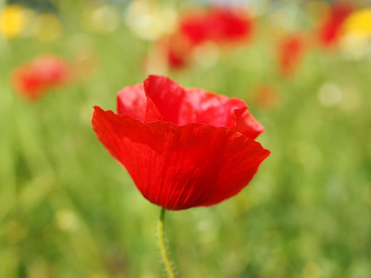 Royalty free photo closeup photography of red poppy pickpik closeup photography of red poppy mightylinksfo