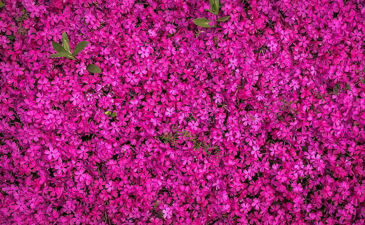 Royalty free photo pink flower field in aerial photography pickpik pink flower field in aerial photography mightylinksfo