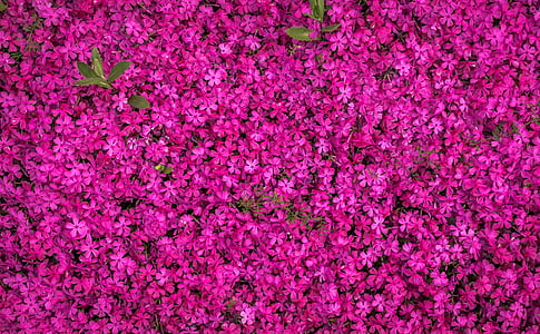 pink flower field in aerial photography