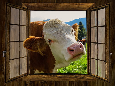 photo of brown and white cow