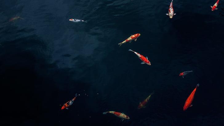 coi fish swim below the body of water
