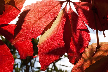 red leaf during daytime