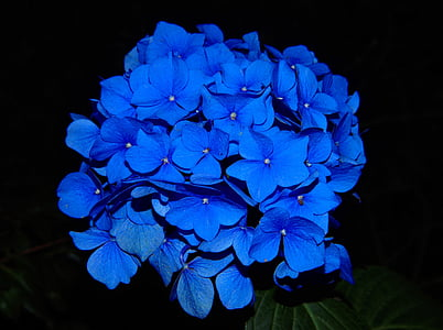 blue hydrangeas photo