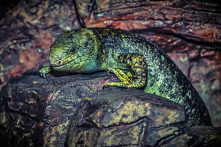 green lizard on black rock