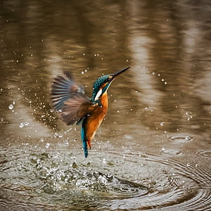 blue an brown humming bird flying out of water
