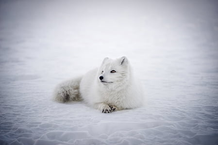 white animal prone lying on snowfield