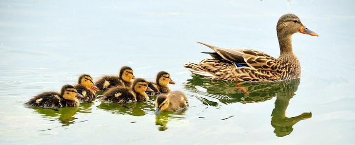 mallard duck lot