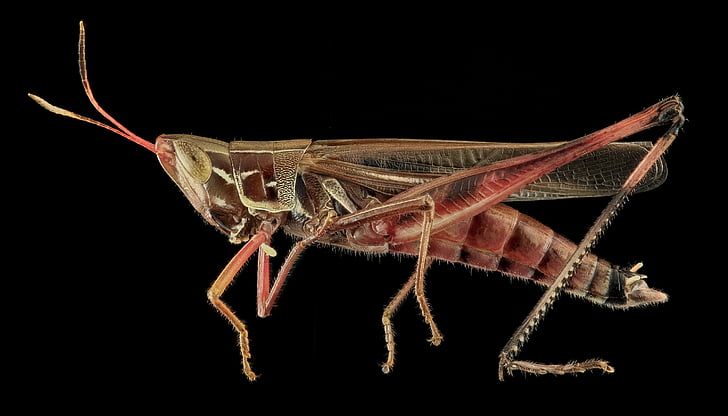 brown and red grasshopper