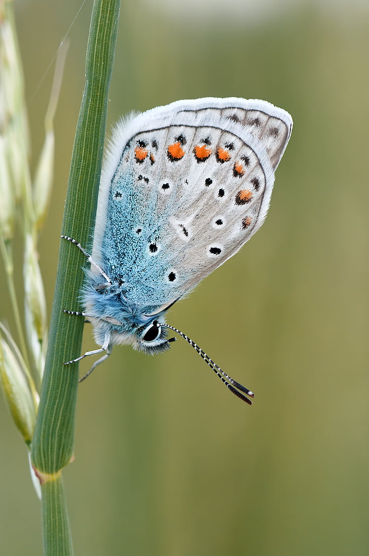 silver-studded butterfly