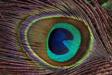 multicolored peacock feather