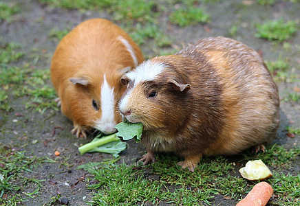 two brown guinea pigs