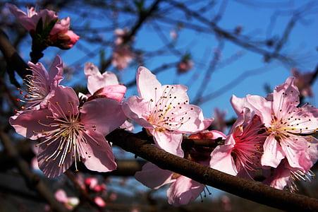 pink Sakura tree blossoms selective-focus photography