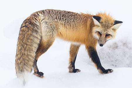 brown and black fox standing on white surface