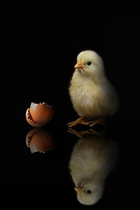 yellow chick besides brown egg shell
