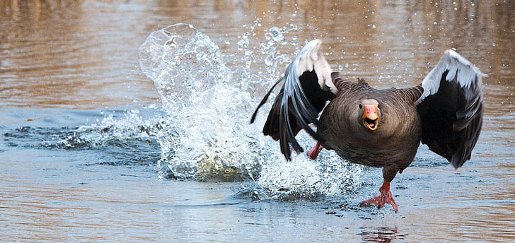 photo of brown and black goose