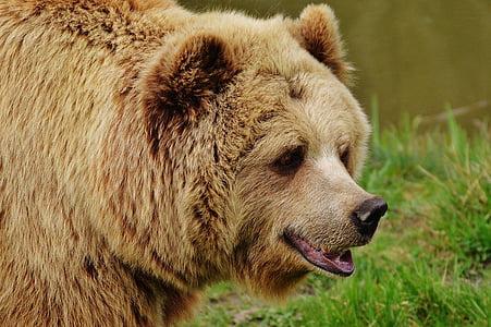brown bear on green grass