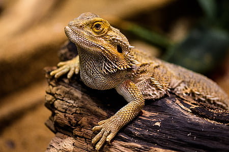 bearded dragon resting on wood branch closeup photography
