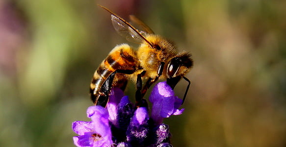 close up photography of honey bee perching on purple flower in close-up photography