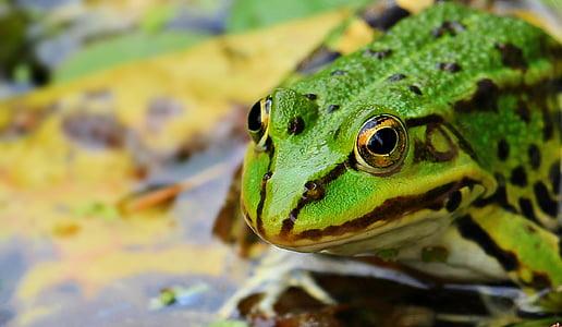 closeup photography of green frog