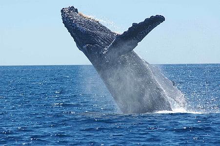 black humpback whale