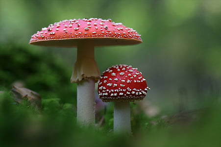 two red and white mushrooms