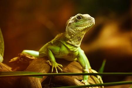 close photo of green iguana