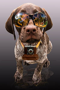 liver and white German shorthaired pointer puppy wearing sunglasses