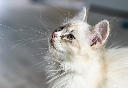medium-coat white cat