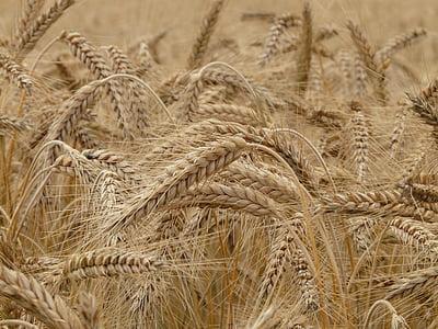 brown wheat farm