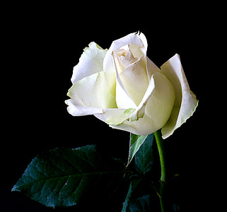 white rose in macro shot photography