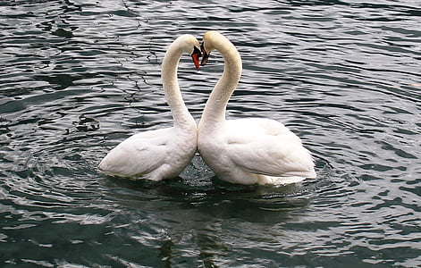 two white swans in calm body of water