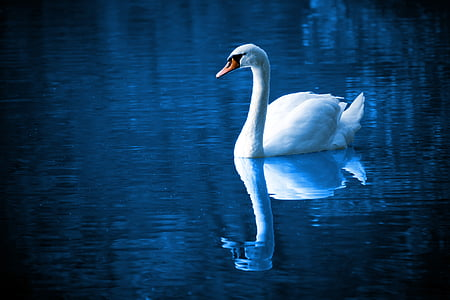 white swan reflecting on body of water