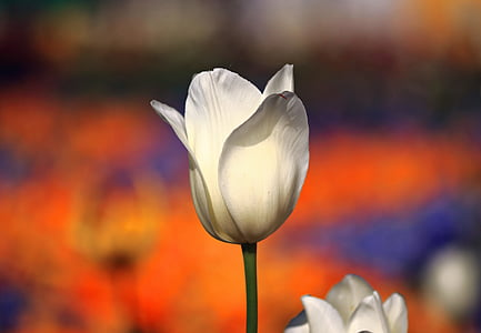 white tulip flower in closeup photography