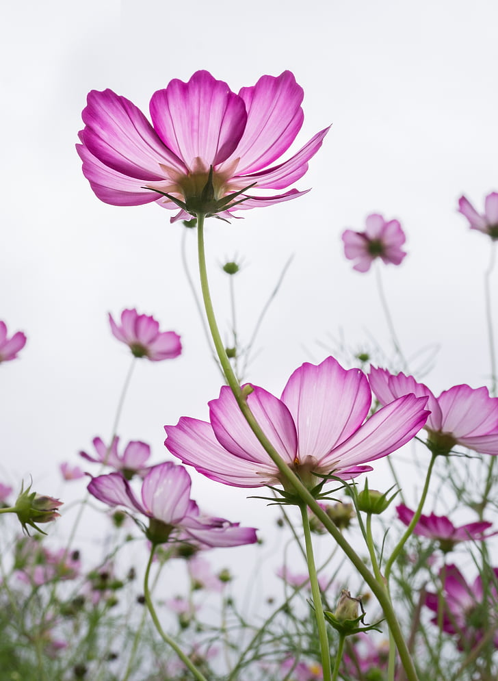 Royalty free photo selective focus photography of pink cosmos selective focus photography of pink cosmos flower field mightylinksfo