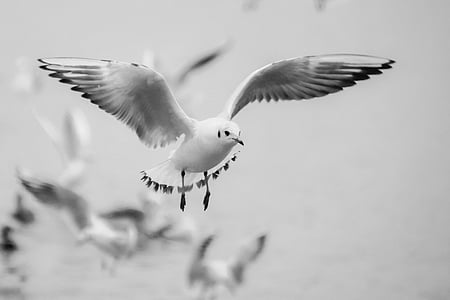 black-billed gull flying