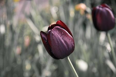 maroon tulip flower