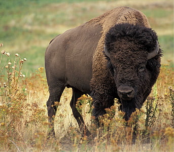 brown bison standing on green grass field during daytime
