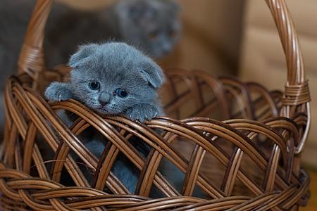 Russian blue kitten on brown wicker basket